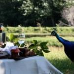peacock picnic